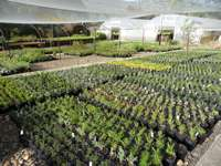 The nursery growing area