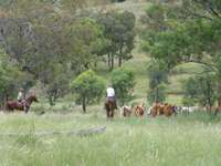 Droving cattle at Mole Station